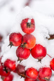 Ripe apples covered with snow Stock Photos
