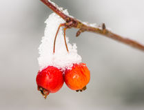 Ripe apples covered with snow Royalty Free Stock Photos