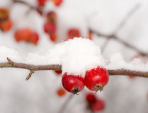 Ripe apples covered with snow Stock Images