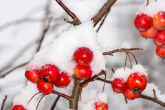 Ripe apples covered with snow Stock Photo