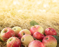 Ripe apples. In dry hay Royalty Free Stock Photography