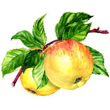 Ripe apples fruits on branch isolated, watercolor illustration,  white background Royalty Free Stock Image