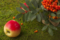 Ripe apples and fruits of red mountain ash with green leaves. Royalty Free Stock Photos