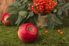 Ripe apples and fruits of red mountain ash with green leaves. Royalty Free Stock Images