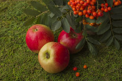 Ripe apples and fruits of red mountain ash with green leaves. Royalty Free Stock Photography