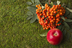 Ripe apples and fruits of red mountain ash with green leaves. Royalty Free Stock Photo