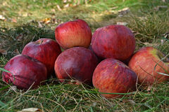 Ripe apples on the grass Stock Photography