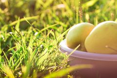 Ripe apples in green grass Stock Images