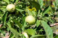 Ripe apples Stock Image