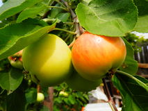 Ripe apples. Hang on a tree branch royalty free stock photography