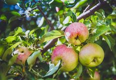 Ripe apples are hanging on a branch, close-up royalty free stock image