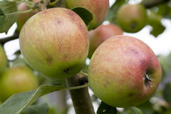 Ripe apples hanging on a branch. Ripe red-green apples hanging on a branch Royalty Free Stock Photos