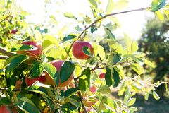Apple harvest. Ripe apples hanging on a tree Royalty Free Stock Images
