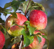 Ripe apples on leafy tree. Closeup of ripe red apples on leafy green tree Stock Photography