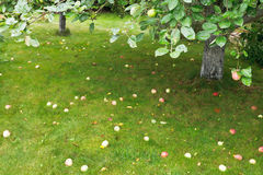 Ripe apples lie on green grass under apple tree Royalty Free Stock Photography