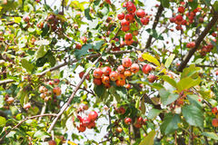 Ripe apples on malus purpurea tree. Ripe apples on malus purpurea aldenhamensis tree in autumn Royalty Free Stock Photography