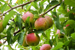 Ripe Apples Morning Dew Royalty Free Stock Photography