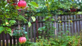 Ripe apples in raindrops on Apple tree branch. Autumn landscape at the summer cottage plot near Moscow stock video footage