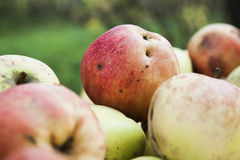 Ripe apples Stock Photos