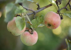 Ripe apples Stock Photography