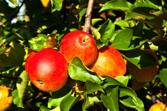 Ripe apples at the tree Royalty Free Stock Photography