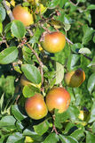 Ripe apples on a tree branch. Stock Photo