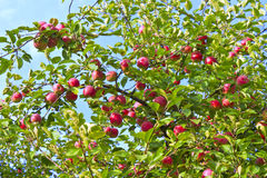 Ripe apples on a tree Royalty Free Stock Image