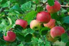 Ripe apples on the tree Royalty Free Stock Photos