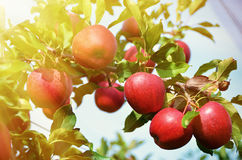 Ripe apples Royalty Free Stock Photo
