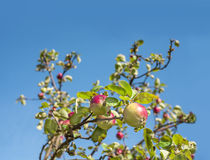 Ripe apples on the tree, background with empty space for text. Royalty Free Stock Photos
