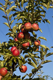 Ripe apples on a tree branch Royalty Free Stock Photo