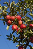 Ripe apples on a tree branch Royalty Free Stock Image