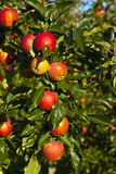 Ripe apples on a tree branch Stock Images