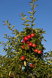 Ripe apples on a tree branch Stock Photo