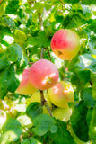 Ripe apples on tree branches. Red fruit and green leaves. Orchard.  stock photo