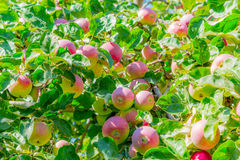 Ripe apples on tree branches. Red fruit and green leaves. Orchard Royalty Free Stock Images