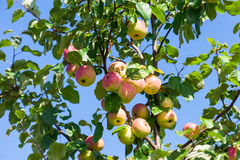 Ripe apples on the tree Stock Photography