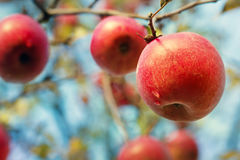 Ripe apples on the tree. Ripe apples with drops on the tree after rain Royalty Free Stock Photo