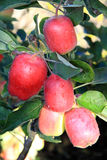 Ripe apples on the tree Royalty Free Stock Photo