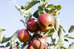Ripe apples on the tree Stock Images