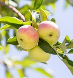 Ripe apples on the tree Royalty Free Stock Photography