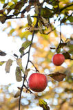 Ripe apples on a tree Stock Image
