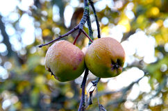 Ripe apples on a tree Stock Images