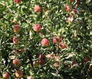 Ripe apples  on the tree Stock Photo