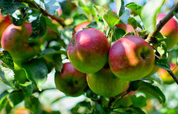 Ripe apples on the tree Royalty Free Stock Images