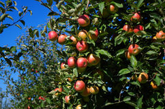 Ripe apples on a tree. Some red ripe apples on branch of a tree Royalty Free Stock Photo