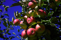 Ripe apples on a tree 2. Some red ripe apples on branch of a tree Royalty Free Stock Photography