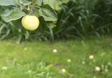 Ripe apples under the apple tree Royalty Free Stock Image