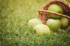 Ripe apples in wicker basket Royalty Free Stock Photo