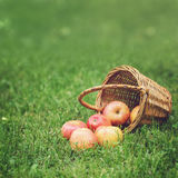 Ripe apples in wicker basket Stock Image